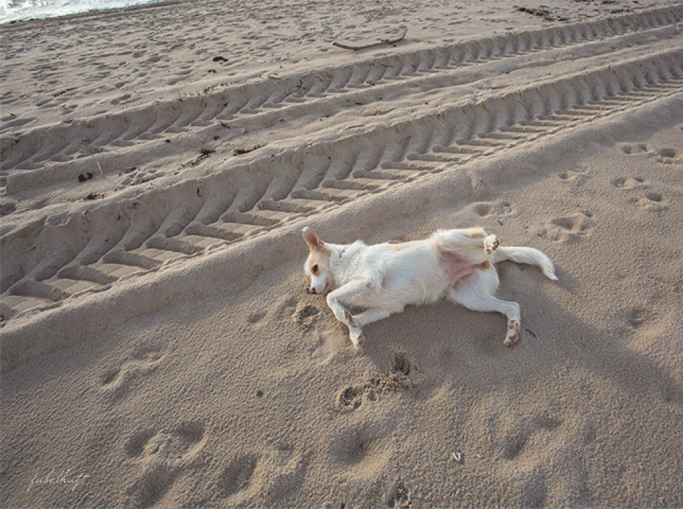 Sandstrand Hund Sylt Wenningsted