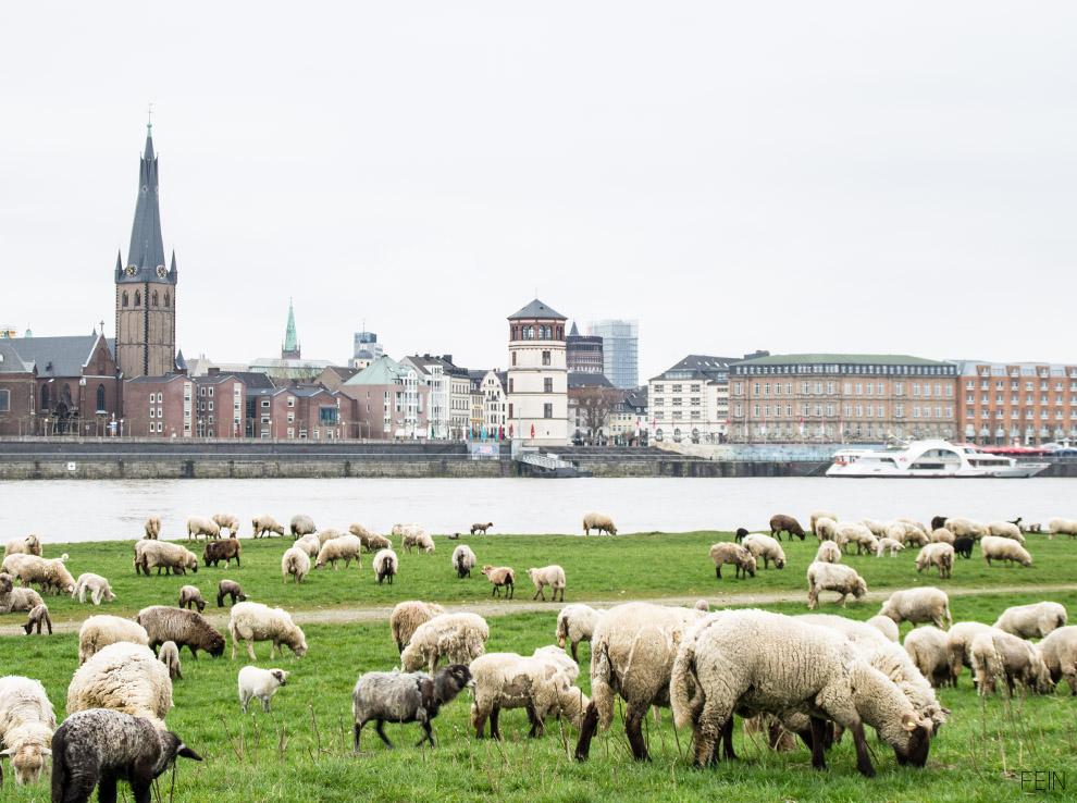 Schafe Rheinufer Düsseldorf City