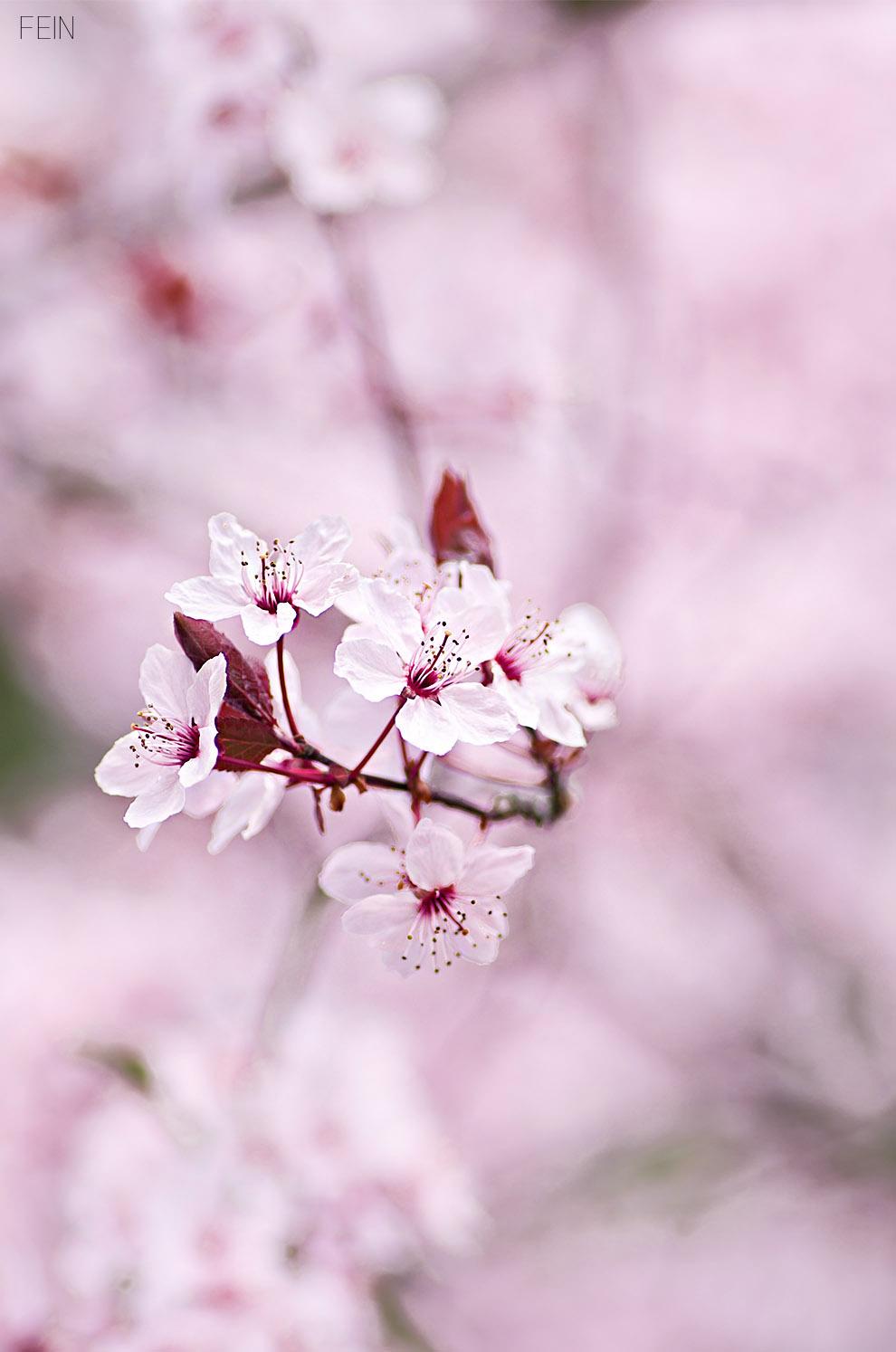 Zierkirsche Makro Blüte