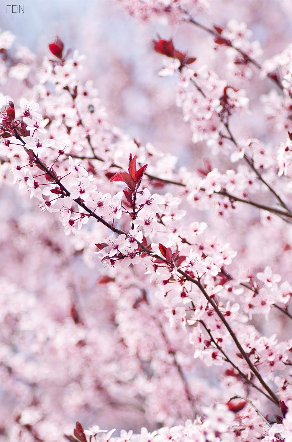 Zierkirschen Blüten