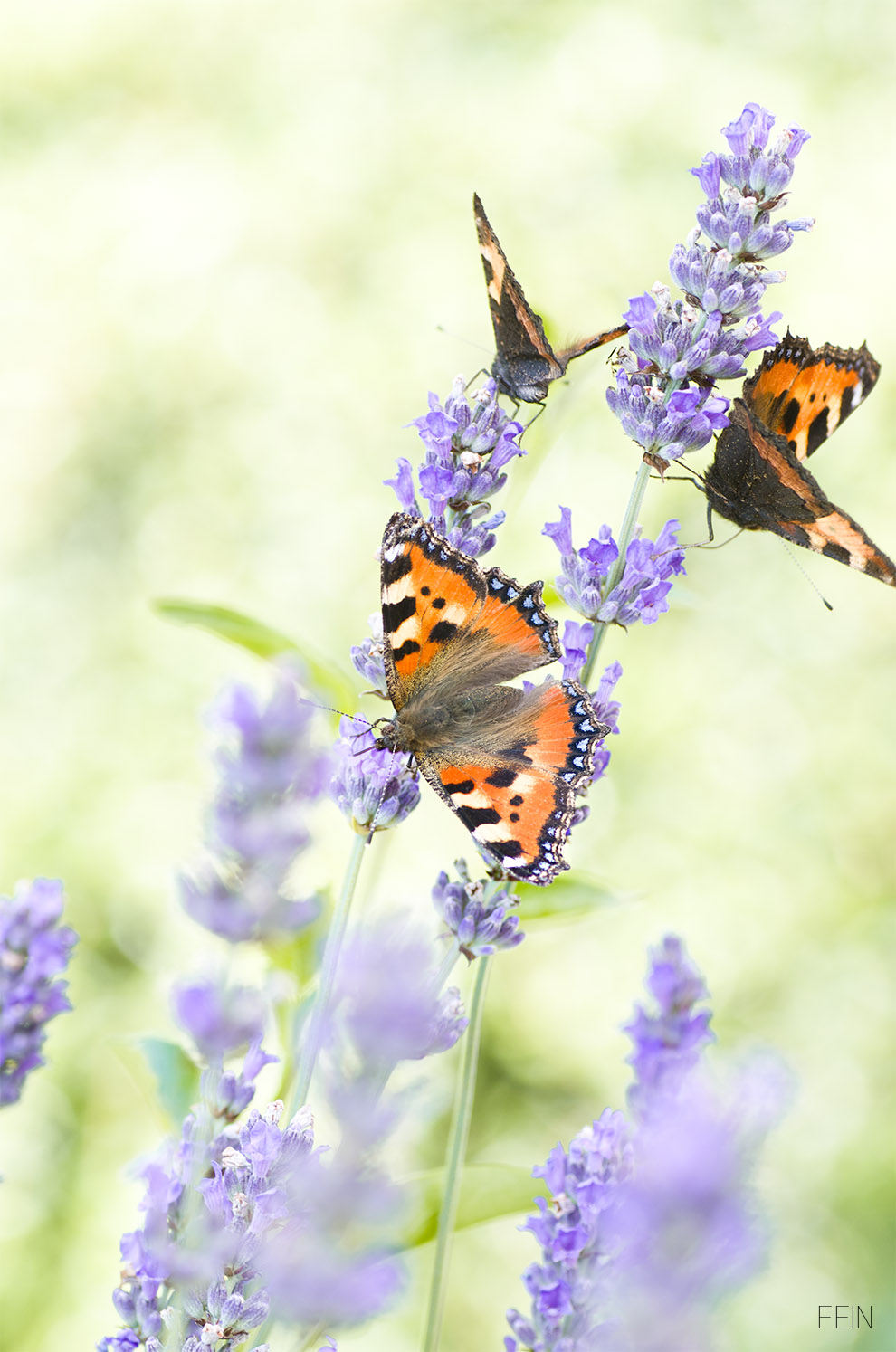 Lavendel Schmetterling Sommer
