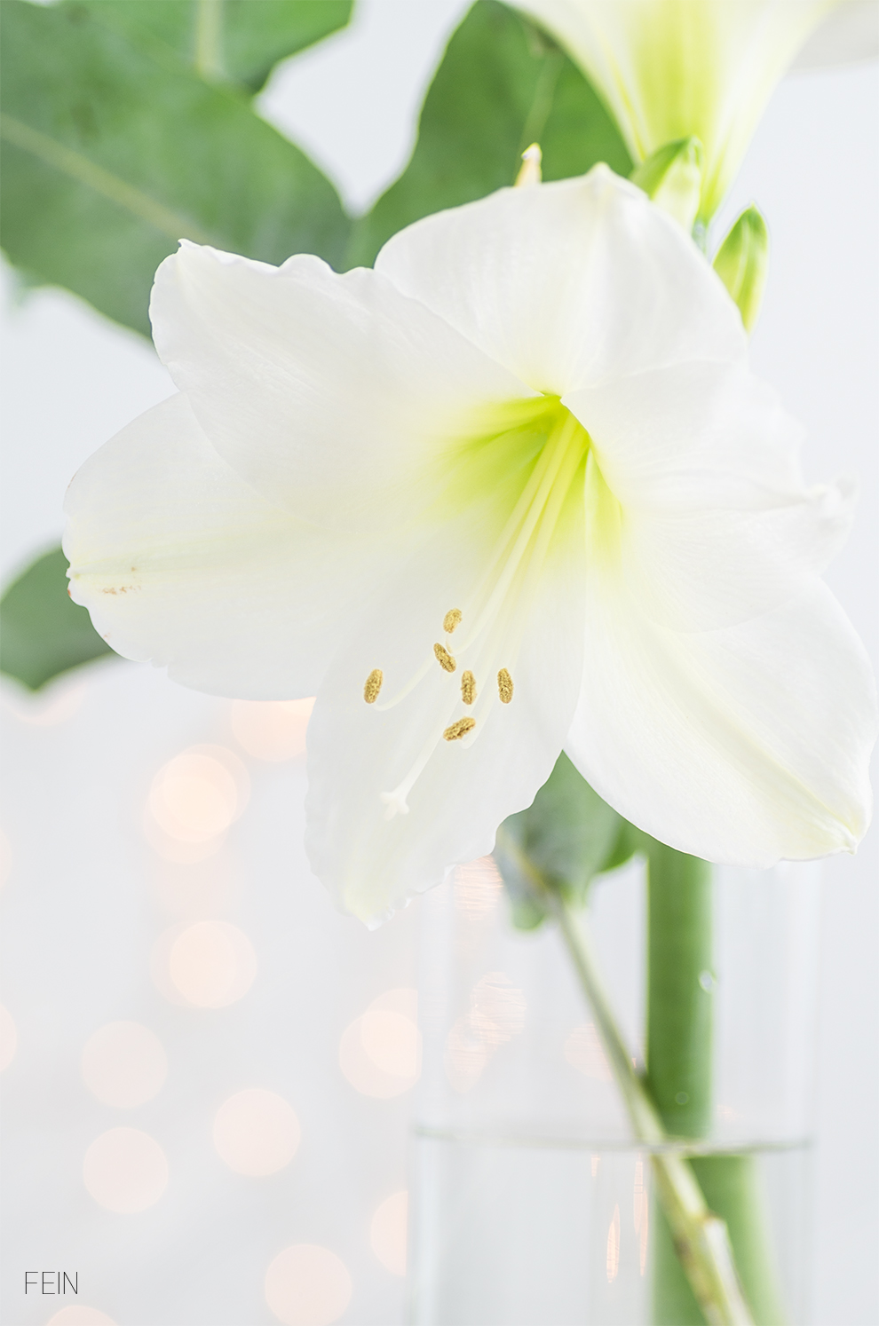 advent-amaryllis