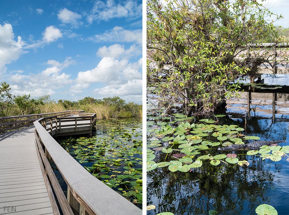 Florida Everglades Nationalpark Alligator