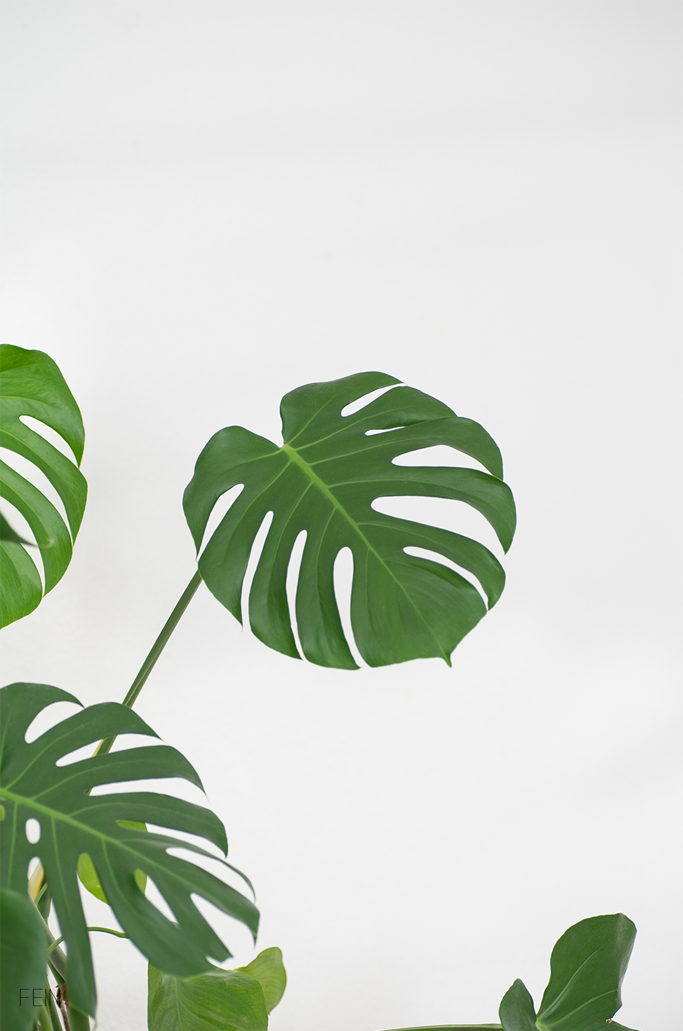 Urban Jungle Monstera
