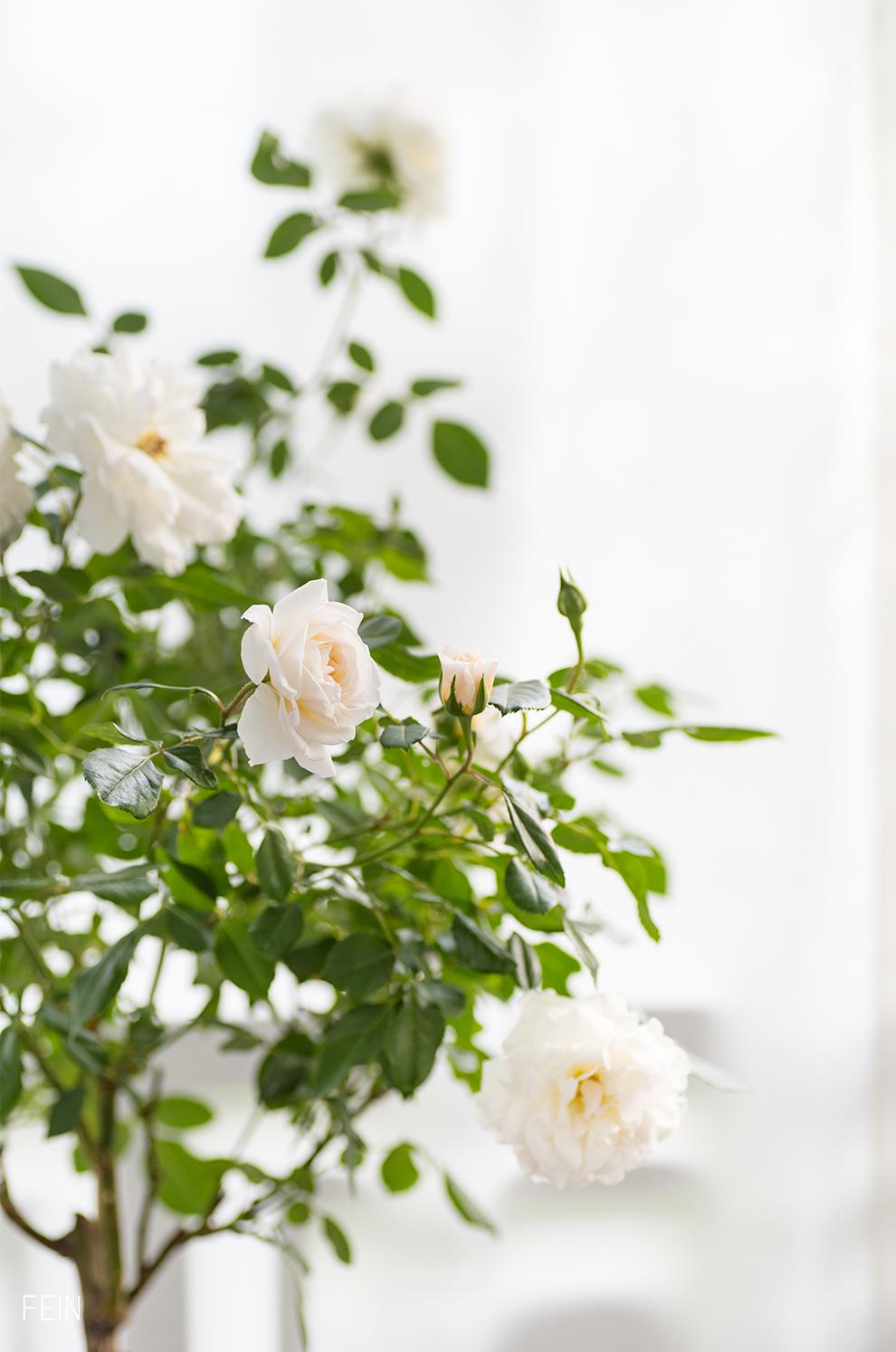 Urban Gardening Rose