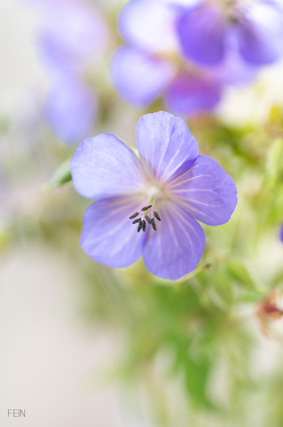 Wiesenblumen Storchschnabel