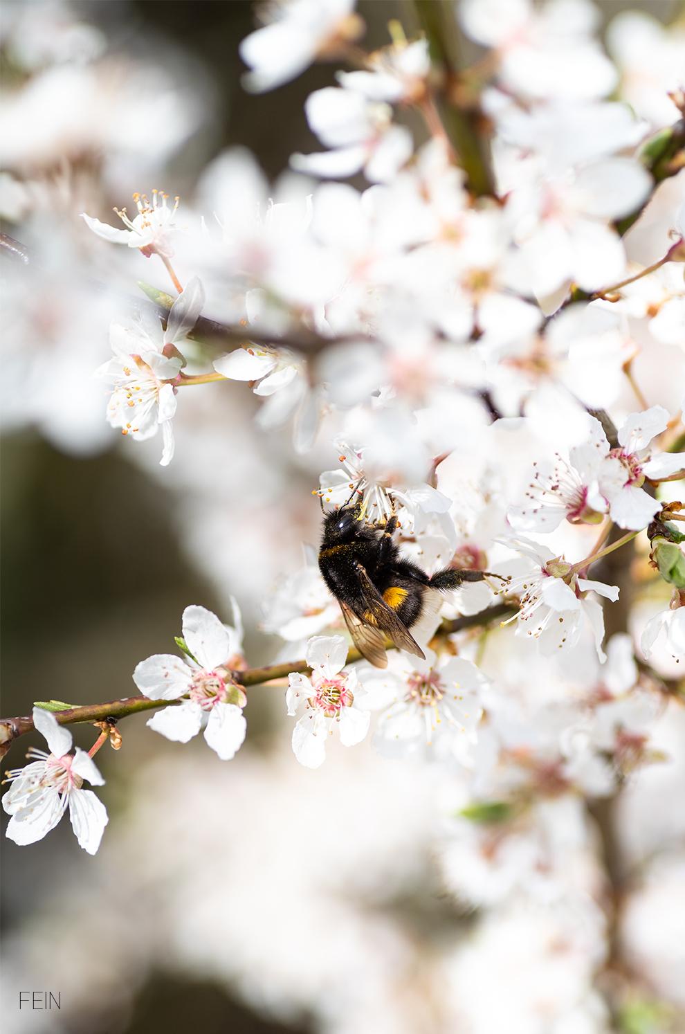 Frühling Hummel